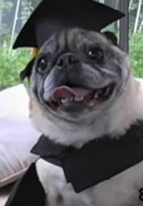 anjing-buldog-dapat-gelar-perguruan-tinggi